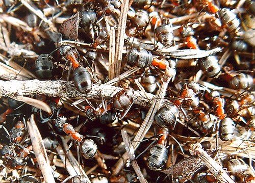 Ameisen